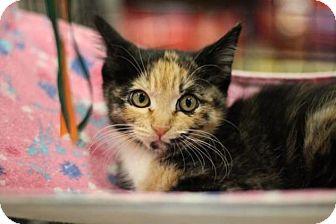 Calico Cat for adoption in Sacramento, California - Suzy