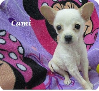 Chihuahua/Pomeranian Mix Puppy for adoption in Bartonsville, Pennsylvania - Cami