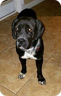 Mastiff Mix Dog for adoption in Las Vegas, Nevada - Koda