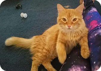 Domestic Mediumhair Cat for adoption in Plano, Texas - ROSSI - FLUFFY LOVEMEISTER!