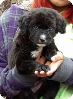 Husky/Labrador Retriever Mix Puppy for adoption in Burlington, Vermont - Oz (8 lb) Video!