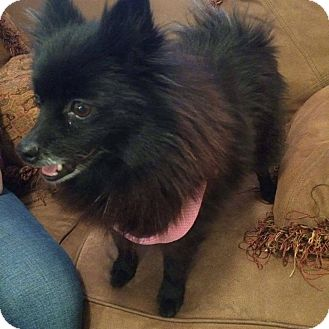 Pomeranian Mix Dog for adoption in Philadelphia, Pennsylvania - Rio