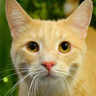 Domestic Shorthair Cat for adoption in Huntley, Illinois - Chan
