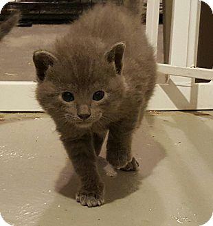 Domestic Shorthair Kitten for adoption in Minot, North Dakota - Carleton