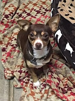 Chihuahua Dog for adoption in Vacaville, California - Leroy