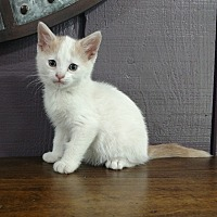 Domestic Shorthair Kitten for adoption in Sterling, Kansas - Willie