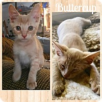 Adopt A Pet :: ButtercupL - North Highlands, CA