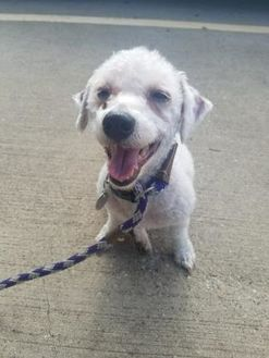 Poodle (Miniature) Mix Dog for adoption in Dallas, Texas - Bentley