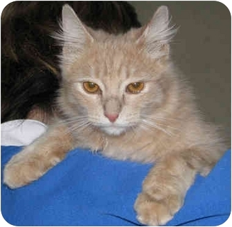 American Shorthair Cat for adoption in Poway, California - Puddin'