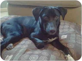 Labrador Retriever Mix Dog for adoption in Wilmington, Delaware - Splash