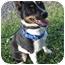 Photo 1 - Rat Terrier Mix Dog for adoption in Columbia, Illinois - Josie