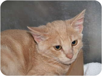 Domestic Shorthair Kitten for adoption in El Cajon, California - Oscar