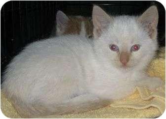 Siamese Kitten for adoption in Elk Grove, Illinois - Snowball