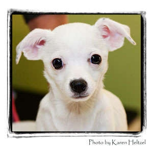 Chihuahua Puppy for adoption in Warren, Pennsylvania - Snow