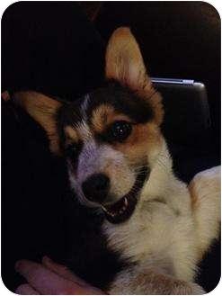 Corgi Mix Puppy for adoption in Spruce Grove, Alberta - Jenny