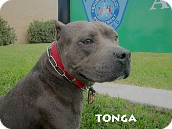 American Pit Bull Terrier/American Staffordshire Terrier Mix Dog for adoption in Beaumont, Texas - Tonga