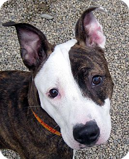 Bull Terrier Mix Puppy for adoption in Marseilles, Illinois - Fiona