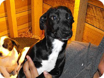 Dachshund/Feist Mix Puppy for adoption in ., Colorado - Chloe