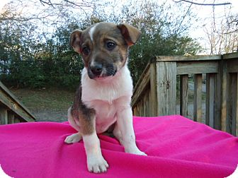 Akita Mix Puppy for adoption in Hagerstown, Maryland - Trina