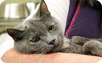 Russian Blue Cat for adoption in Cincinnati, Ohio - Twinkle Toes: in Covedale