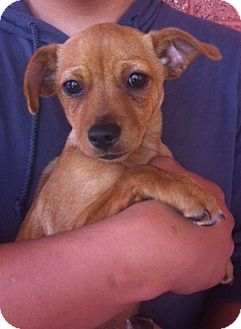 Rat Terrier Mix Puppy for adoption in Nuevo, California - Johnah