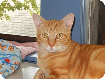 Domestic Shorthair Cat for adoption in Colmar, Pennsylvania - Romeo