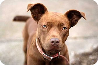Labrador Retriever Mix Dog for adoption in Salem, New Hampshire - BROWNIE