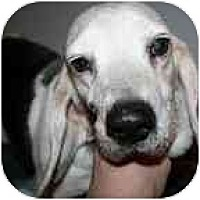 Adopt A Pet :: Sophia - Portland, OR
