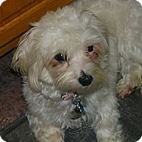 Adopt A Pet :: Merci - Blairstown, NJ