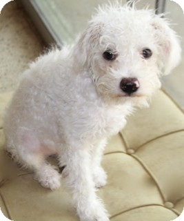 Poodle (Miniature)/Terrier (Unknown Type, Small) Mix Dog for adoption in Woonsocket, Rhode Island - Charlie