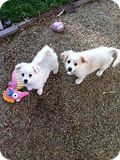 Pomeranian Mix Puppy for adoption in Las Vegas, Nevada - Frankie