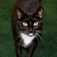 Adopt A Pet :: Oreo - Naples, FL