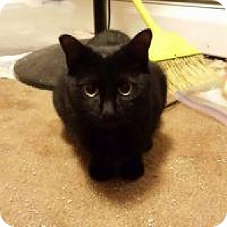 Domestic Shorthair Cat for adoption in Putnam, Connecticut - Genie