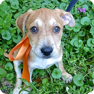 Hound (Unknown Type) Mix Puppy for adoption in Baton Rouge, Louisiana - Fergus