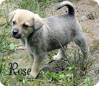 Shepherd (Unknown Type) Mix Puppy for adoption in Hartford, Kentucky - Rose