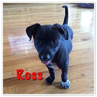 Dachshund/Chihuahua Mix Puppy for adoption in Homewood, Alabama - Ross