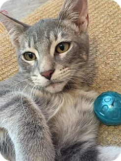 Domestic Shorthair Kitten for adoption in East Hartford, Connecticut - Cayman
