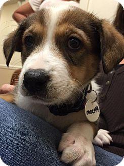 Basenji Mix Puppy for adoption in Ft. Lauderdale, Florida - Mocha