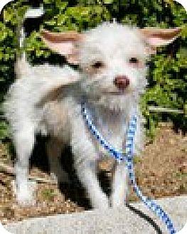 Border Terrier/Terrier (Unknown Type, Medium) Mix Puppy for adoption in Fullerton, California - Elaines Pet Depot