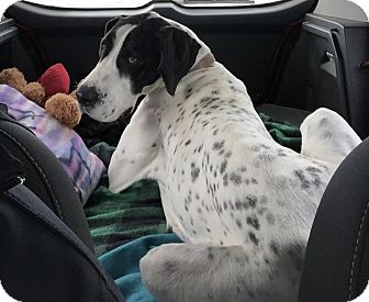 Great Dane Dog for adoption in St. Louis, Missouri - Marley