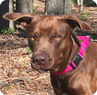 Labrador Retriever Mix Dog for adoption in Washington, D.C. - Joe