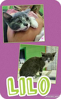 Domestic Shorthair Kitten for adoption in Edwards AFB, California - Lilo