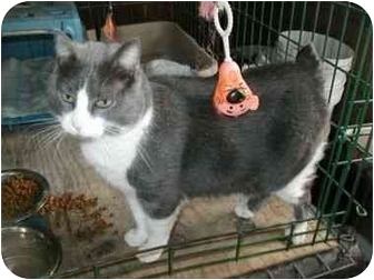 Manx Cat for adoption in Mt Vernon, Missouri - Smokey