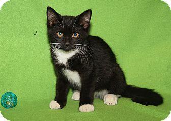 Domestic Shorthair Kitten for adoption in Marietta, Ohio - Johnny Depp (Neutered)