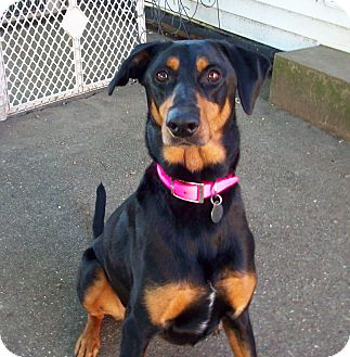 Doberman Pinscher Mix Dog for adoption in New Richmond, Ohio - Bailey