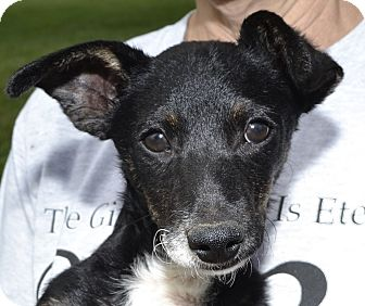 Terrier (Unknown Type, Small) Mix Dog for adoption in Independence, Missouri - Chester