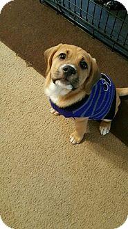 Labrador Retriever/Terrier (Unknown Type, Medium) Mix Puppy for adoption in North Brunswick, New Jersey - Maple