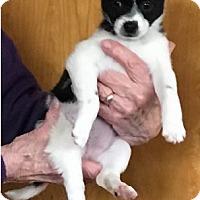 Adopt A Pet :: Sheila - Avon, NY