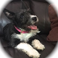 Miniature Schnauzer/Terrier (Unknown Type, Small) Mix Puppy for adoption in Sharonville, Ohio - Wendi~~ADOPTION PENDING