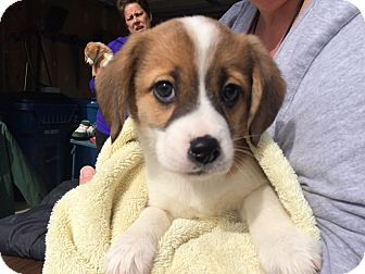 Beagle Mix Puppy for adoption in Kalamazoo, Michigan - Carrot Muffin